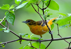 Baltimore Oriole (av8s) Tags: ohio nature birds photography nikon wildlife sigma oh songbirds baltimoreoriole oriole perchingbirds mageemarsh d7100 120400mm
