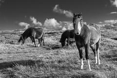wild horses (loop_oh) Tags: greatbritain haybluff uk unitedkingdom wales cymru horse horses wildhorse wildhorses
