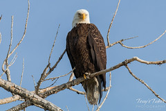 Bald Eagle keeps close watch