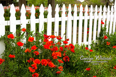 Poppies and White Fence