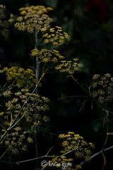 _DSC5901KirstenEggers (Kiki m. E.) Tags: plant night dark dawn twilight nacht blossom good pflanze gelb bloom dmmerung blte yello dunkel gute