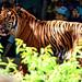 Sumatran Tiger, Guntur of Yokohama Zoological Gardens : ズーラシアのスマトラトラ