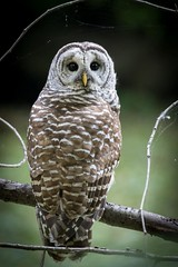 Barred Owl 3-9913 (DavidGuscottPhotography) Tags: test stack