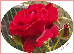 In the Oval Room (MissyPenny) Tags: red flower rose garden lincoln rosegarden bristolpennsylvania