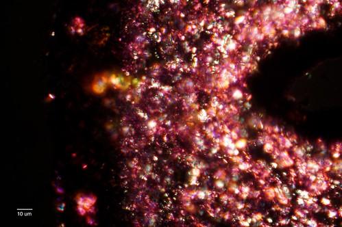 Foliose lichen thallus
