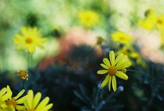 Painterly Daisies (Katie Tarpey) Tags: flowers autumn painterly flower film yellow daisies 35mm kodak bokeh melbourne depthoffield daisy nikonfm10 fitzroygardens kodakportra400 nikkor50mm14