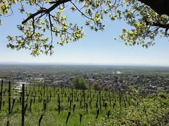 160505 Marche populaire Heiligenstein (Randalfino) Tags: panorama landscape alsace paysage marche barr balade 2016 heiligenstein mai16