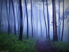 Spring morning.  (Explore) (Guillermo Carballa) Tags: morning trees light mist colors fog forest spring woods olympus pines ferns e1 carballa