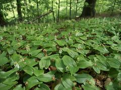 Maianthemum bifolium (peter_paul52) Tags: sachsen asparagaceae
