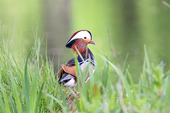 Mandarin Duck (NickWakeling) Tags: nature birds wildlife norfolk ducks mandarin mandarinduck felbrigg northnorfolk felbrigghall canon60d sigma150600mmf563dgoshsmcontemporary