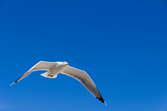 bandol avril 2016-23.jpg (kepler13) Tags: nature animal photography photographie bleu ciel animaux bandol mouette