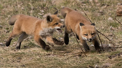 Fox Kits in Chase (Raymond J Barlow) Tags: travel red nature animal wildlife running fox workshops foxkits raymondbarlow