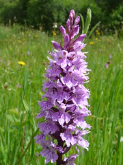 """Common Spotted Orchid • <a style=""""font-size:0.8em;"""" href=""""http://www.flickr.com/photos/27734467@N04/26726534071/"""" target=""""_blank"""">View on Flickr</a>"""
