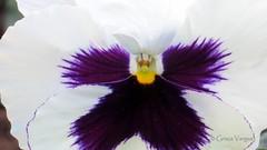 Viola ( Graa Vargas ) Tags: plumblossom graavargas flordaameixeira 2016graavargasallrightsreserved 13005140716