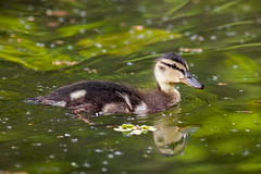Nothing ugly about this duckling. (mortimerphotographic) Tags: wild nature water canon photography eos canal wildlife duckling 28 200mm 2xextender 5dmk2