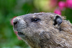 Groundhog (Gerard) 5916 (1) (maerlyn8) Tags: animal canon mammal furry may woodchuck groundhog gerard 2016