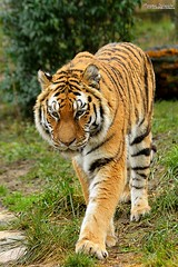Old siberian tiger (Setsukoh) Tags: park france alex animal zoo frankreich tiger siberian animaux lorraine parc tigris siberiantiger tigre metz mosel flin moselle zoopark fauve pantheratigrisaltaica panthera animalier altaica amnville brochall sibrie lothringen tigredesibrie zooparc