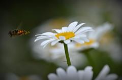 Leaving the scene (builder24car) Tags: plant nature bug insect whiteflower dof northcarolina thegreatoutdoors