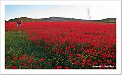 Entre Amapolas (Lourdes S.C.) Tags: flowers flores paisaje campo parejas amapolas floressilvestres campodeamapolas provinciadejaén