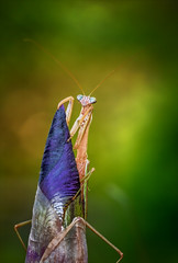 The Neverending Story (kathybaca) Tags: world life iris sun flower nature animal forest woodland mantis insect woods bokeh earth insects bugs planet predator prayingmantis entomology preyingmantis chinesemantis