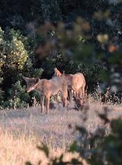 Princess Mary- Prince George 6 Pups (FluffyPuppiesMosaics) Tags: ca dogs wildlife redding turtlebay coyotes sundialbridge coyotepups tracihallstrom pupsplaying coyotepack fluffypuppiesmosaics riverknolls riverknollscondos