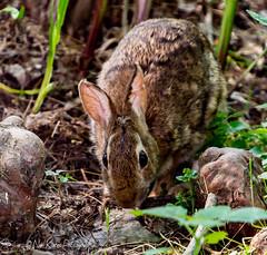 Rabbit_DSC8493 photoshop NIK edit  (nkatesphotography) Tags: nature wildlife rabbits naturecenter peacevalleypark nikond600 nikon70200mmf28 fountainvillepa nikontc20ell