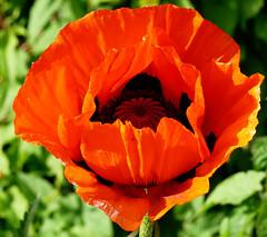 POPPY RED (forkcandles) Tags: red plant flower bristol poppy wildflowers cityandcountyofbristol cmwd forkcandles fz1000panasoniccamera