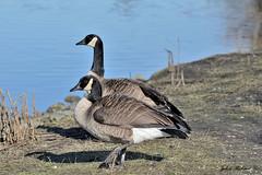 Canada  Geese (john_robson) Tags: feet web canadageese reifel westhamisland webfeet bccanada migratorybirds