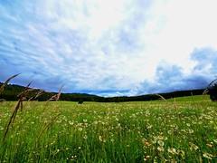 Fioriture in Cansiglio (Fernando De March) Tags: alpago cansiglio fiori fioriture foresta soffioni