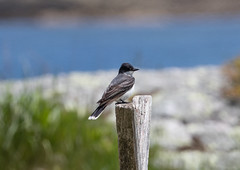 Eastern Kingbird (Laura Erickson) Tags: birds maine places species harborisland passeriformes easternkingbird tyrannustyrannus tyrannidae lincolncounty