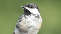I'm Ready for my Close-up (blazer8696) Tags: 2016 brookfield ct connecticut ecw obtusehill t2016 usa unitedstates atricapillus black blackcapped blackcappedchickadee capped chickadee img9344 paridae passeriformes poecile poecileatricapillus