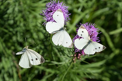Cabbage White Butterflies (flying cats (AKA Penny Carlson)) Tags: butterfly nj newjersey hunterdon flower insect bug sony a7rii macro butterflies white cabbage