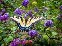 Beautful Summer (Hannah Underhill) Tags: insect flowers gardening macro closeup summer memphis butterfly tennessee butterflies