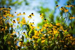 Toward the Sky (moaan) Tags: kobe hyogo japan jp flower flowering flora echinacea sun sunlight up upward bokeh dof utata 2016 leica mp leicamp type240 summilux 50mm f14 summilux50mmf14asph