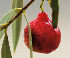 Quandong study 2 (krillmerma) Tags: quondong quandong fruit australia bush tucker arid desert red macro sony