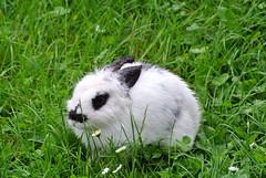 DSC_3421 (mavnjess) Tags: 15 june 2016 vicenza italy italia coniglio coniglios rabbit rabbits bunny bunnies