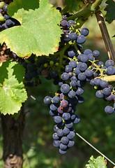 Weinstock / common grape vine (vitis vinifera) (HEN-Magonza) Tags: botanischergartenmainz mainzbotanicalgardens rheinlandpfalz rhinelandpalatinate germany deutschland flora natur nature weinstock commongrapevine vitisvinifera frucht fruit