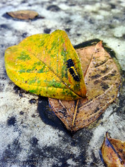 Untitled  (Suggestions - ???) (Lon Casler Bixby) Tags: loncaslerbixby neoichi nature naturephotography bokeh burbank california closeup macro macrophotography cellphonephotography bugs insect insects wildlifephotography wildlife artistic artisticphotography interiordesign artprints fineartphotography fineart fineartprints printsforsale leaves goldenleaves leaf goldenleaf extremecloseup ecu yellow outdoorphotography oxidation stilllife streetphotography streetscenes colorful macrolens