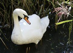 Mute Swan (christopheradler) Tags: germany mute swan cygnus olor