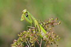 Mantis religiosa (Linnaeus, 1758) - European Mantis (axel.becker73) Tags: mantis religiosa mantidae mantodea gottesanbeterin praying insekt kroatien croatia istrien istria veli mlun