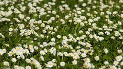 Daisy Carpet (sXare) Tags: flower meadow wiese daisy blume gnseblmchen 2015