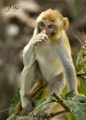 "Baby Rhesus Macaque (Joybroto Dass) Tags: forest woods fauna nature wild canon wildlife photography animal bird beautiful amazing india raw beauty avian camera click rawnature""""wildphotography natureatitsbest"