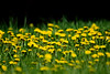 Taraxacum (Matt Ibbs) Tags: wild green yellow spring weed nikon dof may dandelion depthoffield wildflower maj wiosna taraxacum 2015 dmuchawiec chwast mniszeklekarski d7200