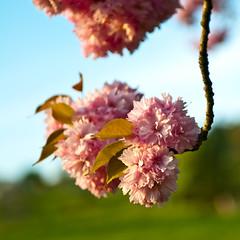 Hanging blossoms (koDesign) Tags: pink sky tree cherry spring nikon blossom blossoms himmel baum frhling blten d300 kirschbaum nikkor2470f28