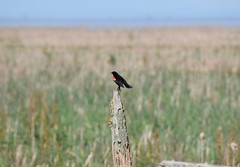 Red-Winged Blackbird (careth@2012) Tags: park light sky nature daylight nikon scenery view zoom britishcolumbia wildlife scene telephoto naturereserve daytime perched blackbird birdsanctuary redwingedblackbird georgecreifelmigratorybirdsanctuary 55300mm nikond3300 d3300