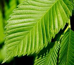 Leaves III (Pauline Brock) Tags: macro green nature leaves leaf stripes macromondays