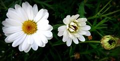 Margrietjes/White daisies (truus1949) Tags: bloemen