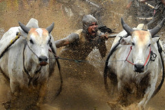 s May23_Pacu Jawi_DSCN1656 (Andrew JK Tan) Tags: indonesia cattle cows mud action p900 jockey padang splashes pacujawi