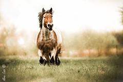 Cheval au pr (Aline Caid - Aline Passion Photo) Tags: chevaux