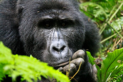 Chilled Out (Welsh Barney) Tags: africa forest trekking safari uganda bwindi